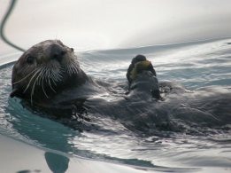 Hello, I'm an adorable Sea Otter