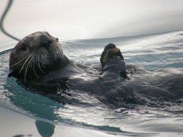 An adorable Sea Otter