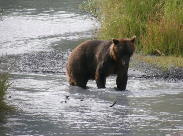 Brown Bear looking for supper