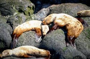 Resting Stellar Sea Lions, Glacier Island