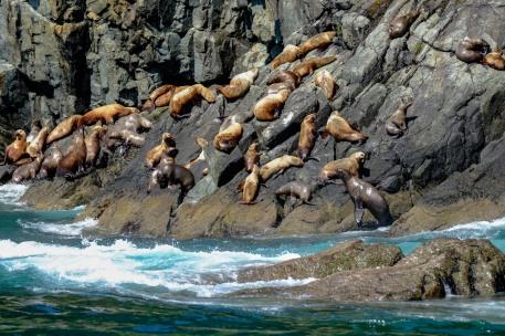 Stellar Sea Lion haul-out, Glacier Island