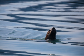 Stellar Sea Lion near Glacier Island