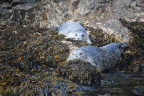 Mother Harbor Seal and her newborn pup on Glacier Island