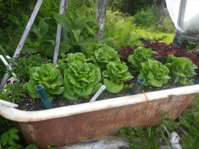Fresh lettuce and herbs at Prince William Sound Lodge