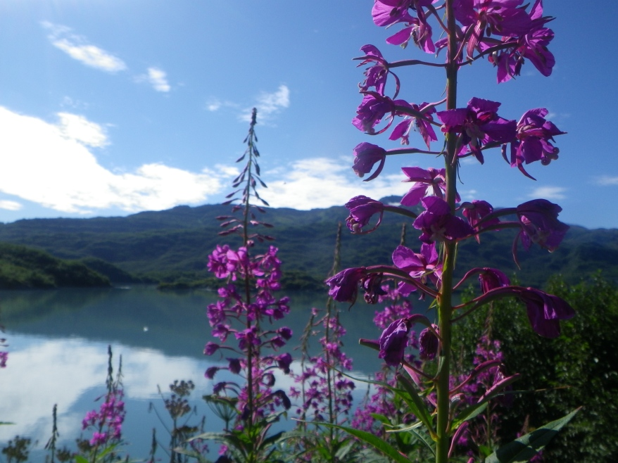 Lupine at Shoup Bay