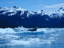 Harbor Seal in Columbia Bay