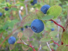 Blueberries galore