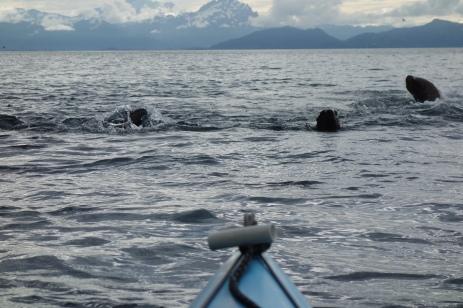 Sea Lions chasing us, Glacier Island