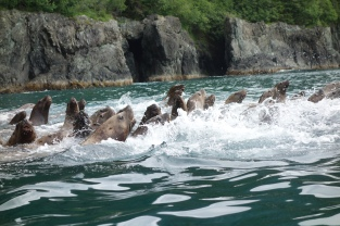 Steller Sea Lions, Glacier Island