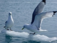 Black-Legged Kittiwakes on ice