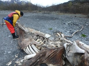 Checking out a whale carcass in Shoup Bay