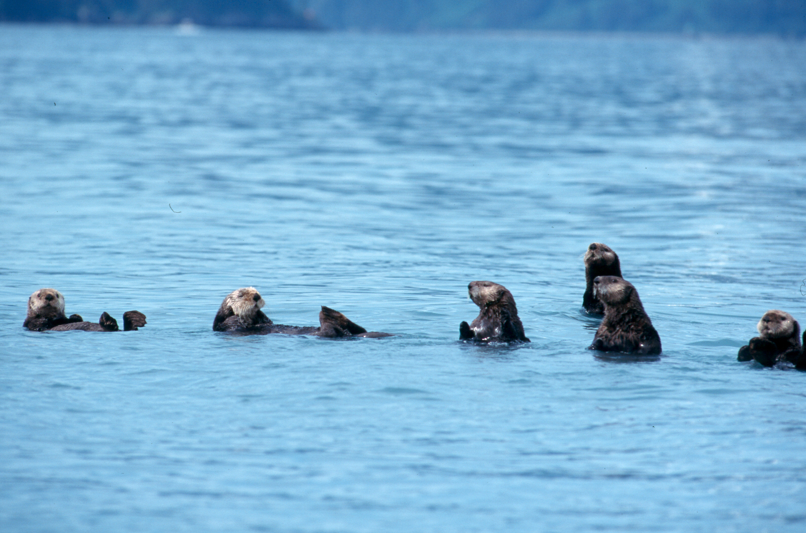 sea-otters