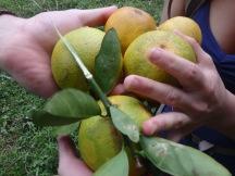 Fresh oranges anyone?