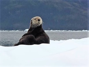 Curious Sea Otter on ice, Columbia Bay
