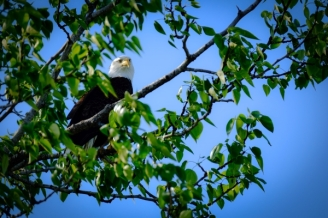 Bald Eagles are a common sight from the lodge