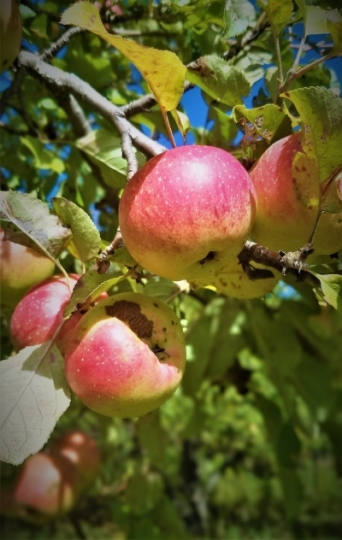 Apples in afternoon sunlight, Copper Harbor