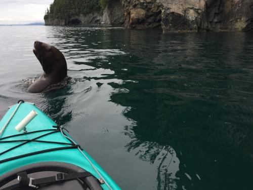 Steller Sea Lion saying hello, Glacier Island